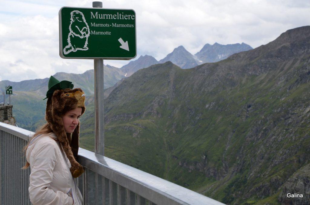 Альпийский сурок