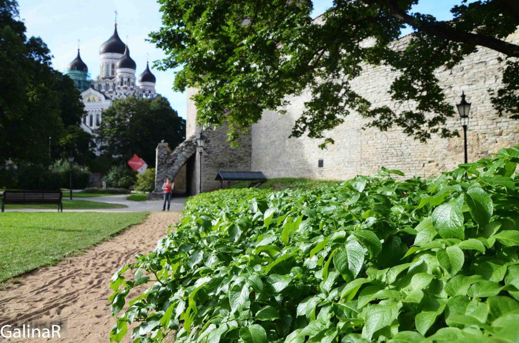 Картошка растет в Таллине