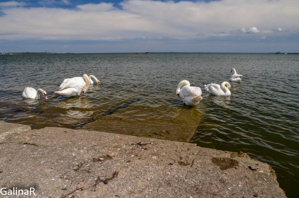 Лебеди на Балтийской косе у аэродрома Нойтиф