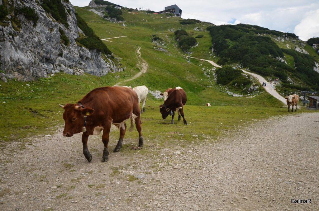 Альпийские коровы в Баварских Альпах