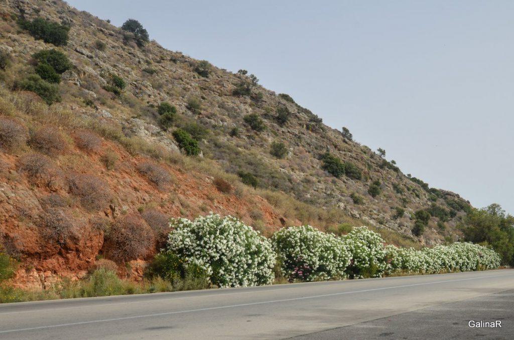 Кусты Олеандры на дорогах Крита