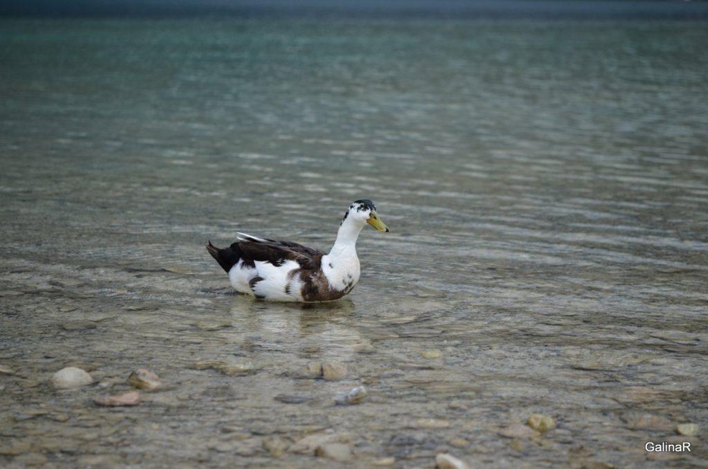 Утки озера Курнас