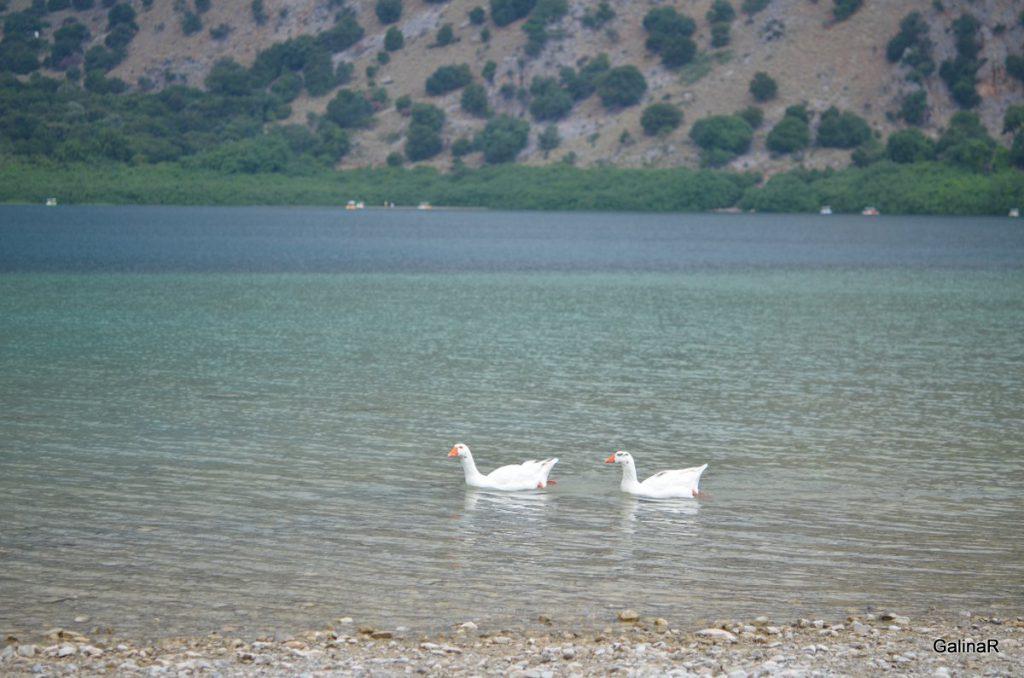 Гуси озера Курнас